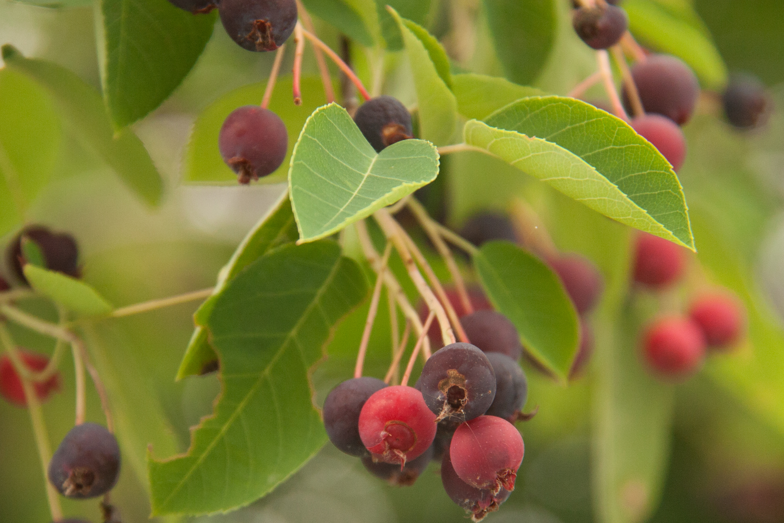Serviceberry: The Most Delicious Fruit You Aren't Eating