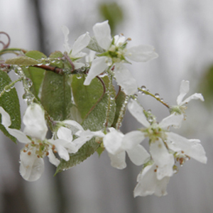 amelanchier flower