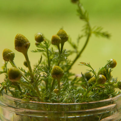 Pineapple Weed: Fragrant, Sweet, and Delicious