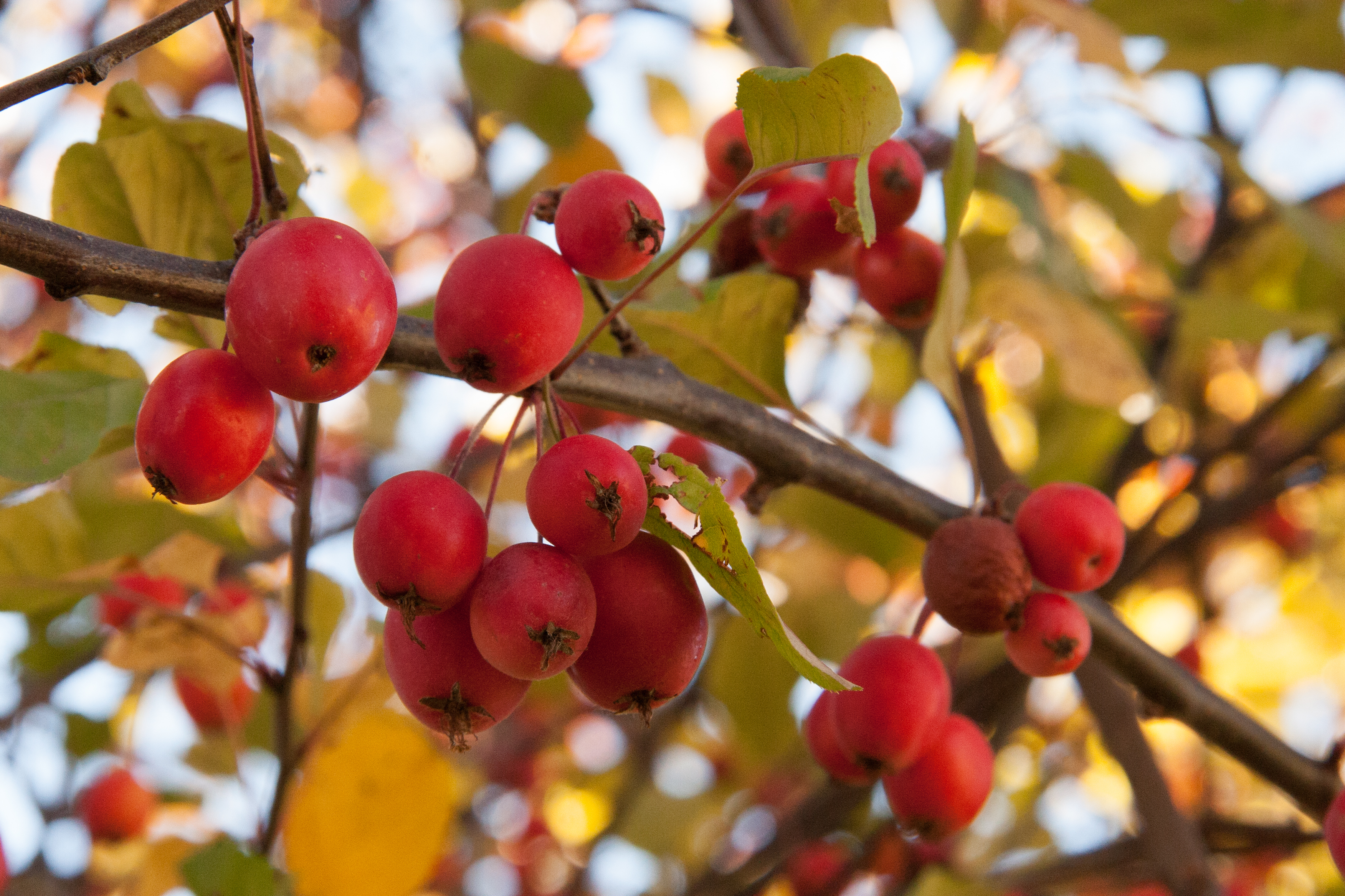 I Can't Stop. (picking crabapples)