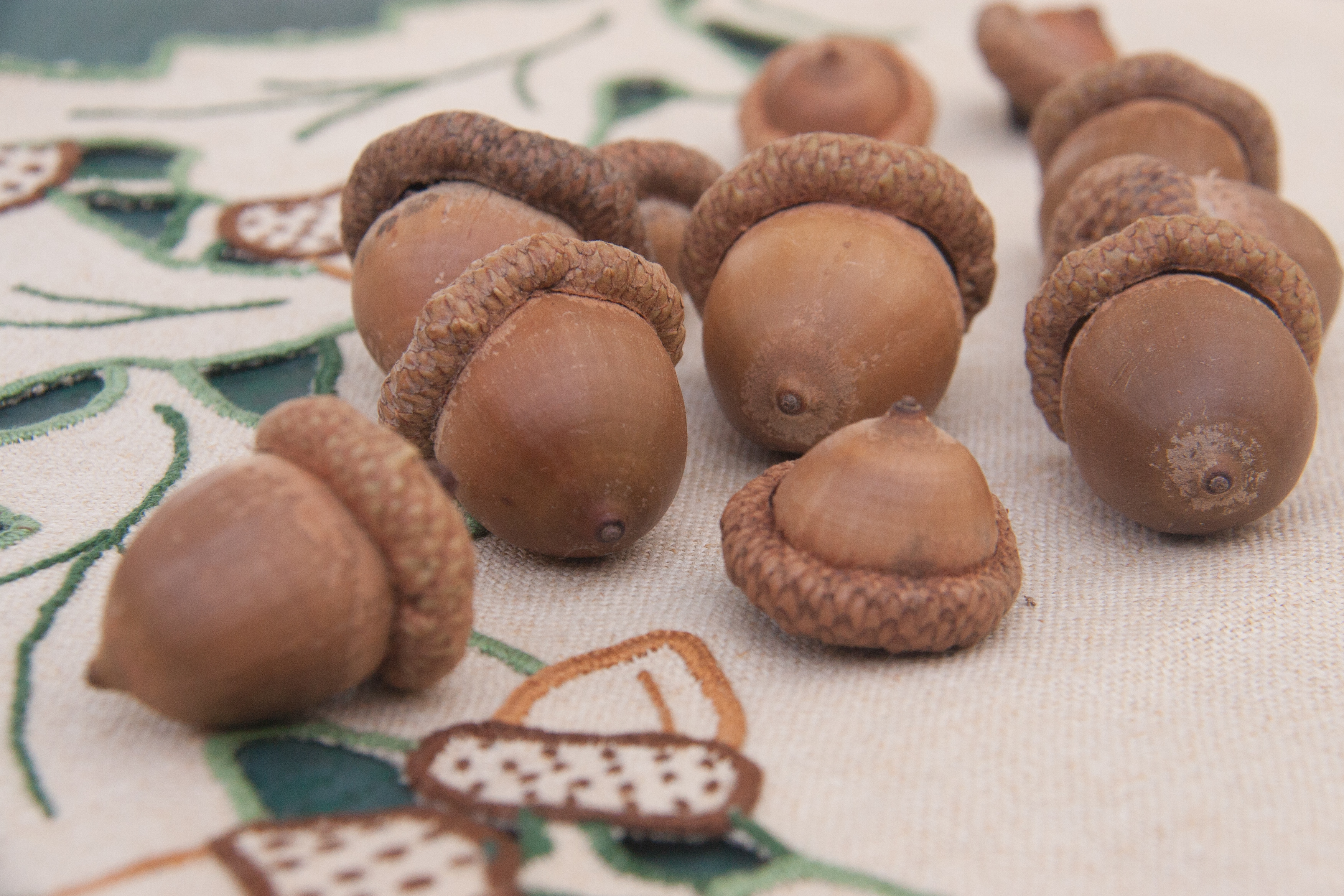 Everything You Ever Wanted to Know About Acorns
