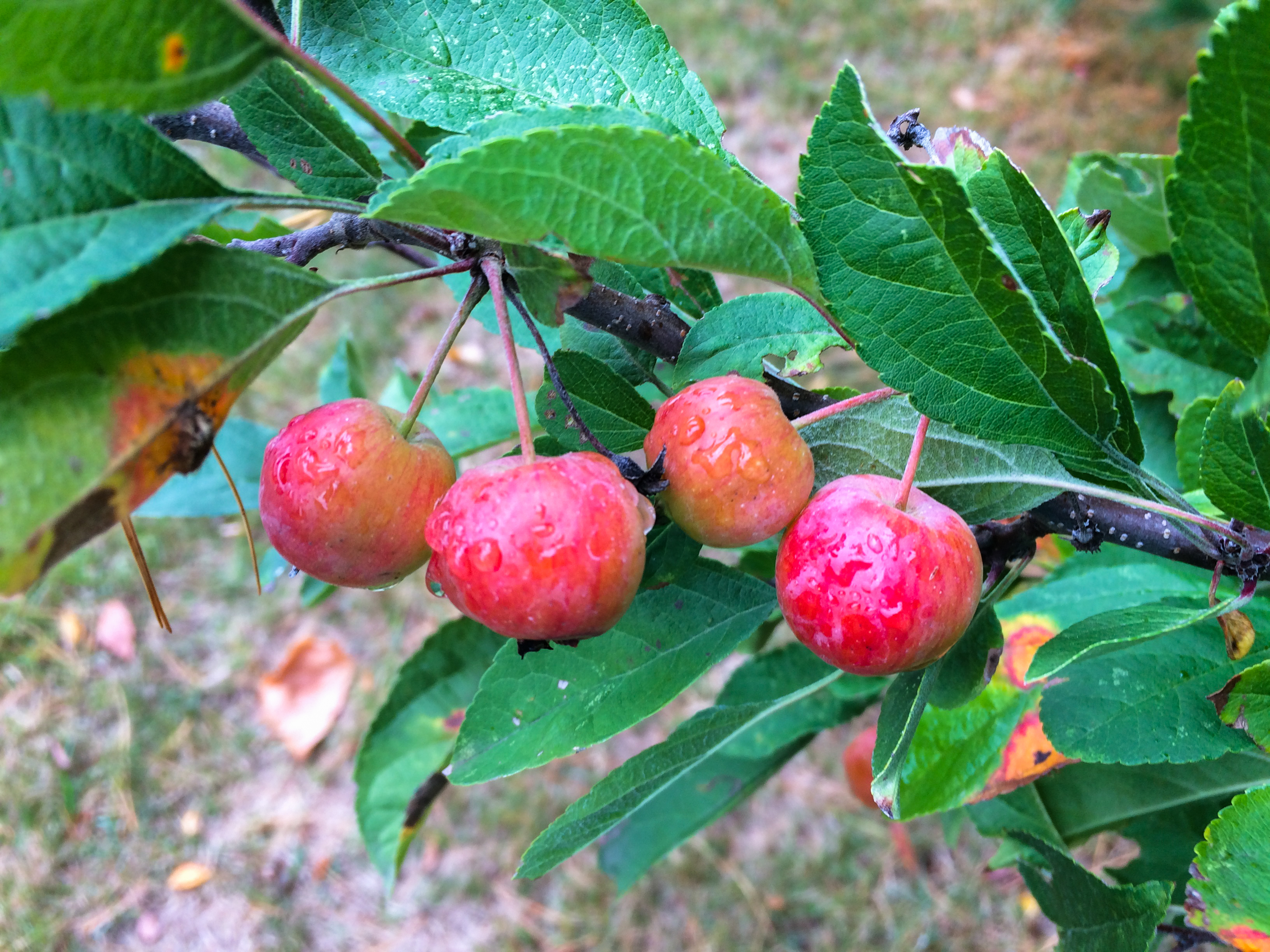 Everything You Ever Wanted to Know About Crabapples