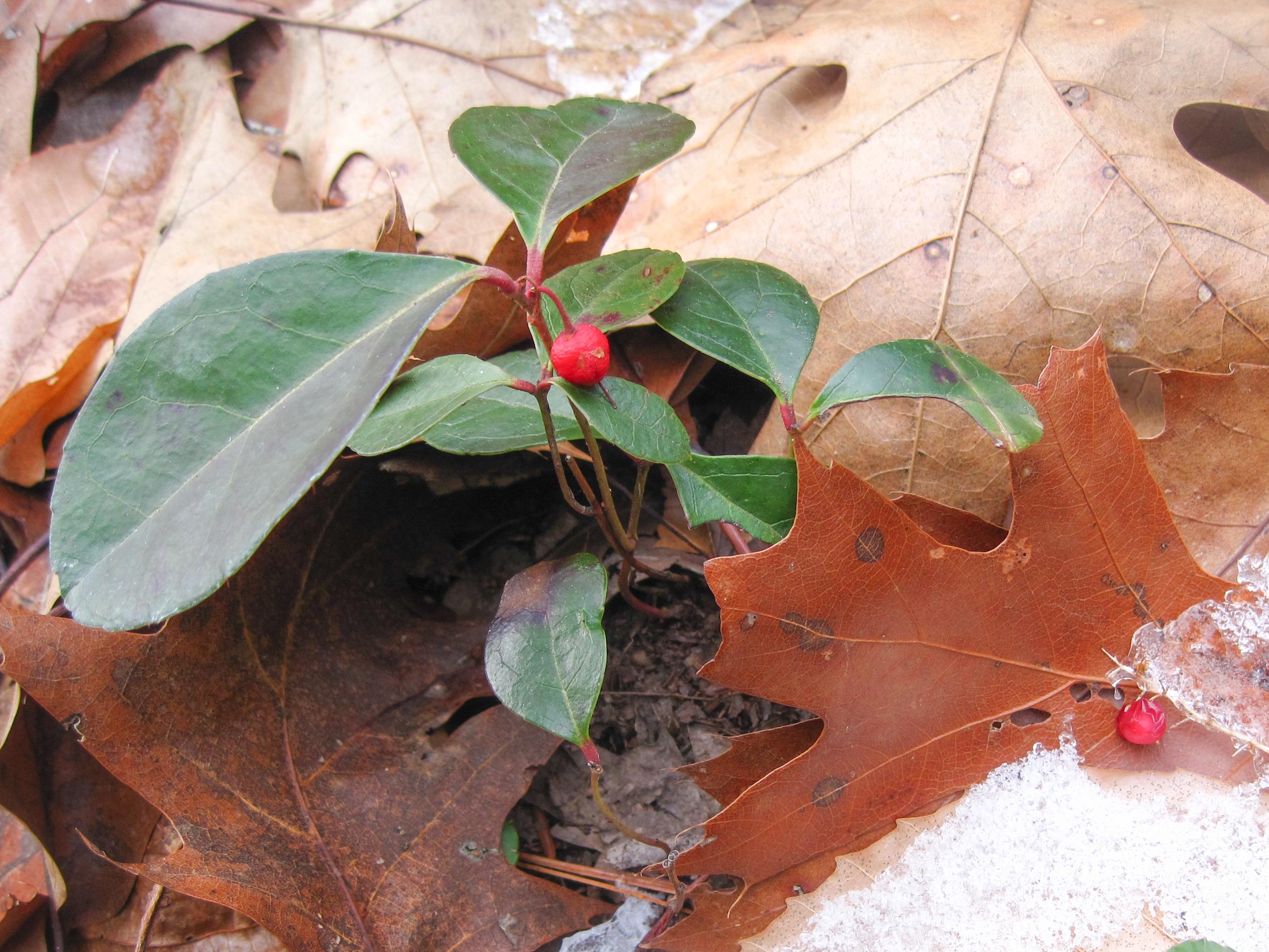 All About Wintergreen, aka Gaultheria procumbens