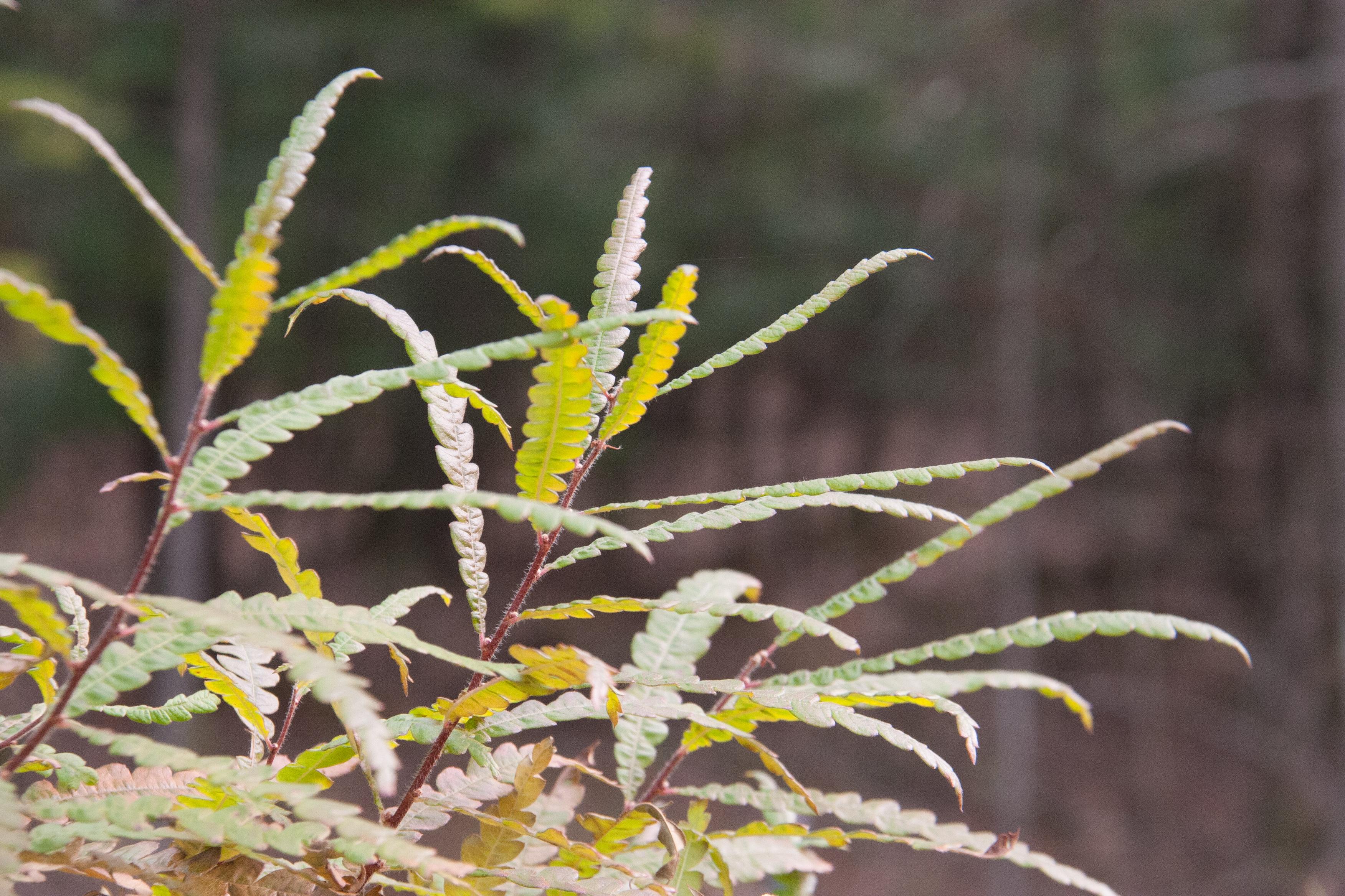 Sweet Fern, aka Comptonia peregrina