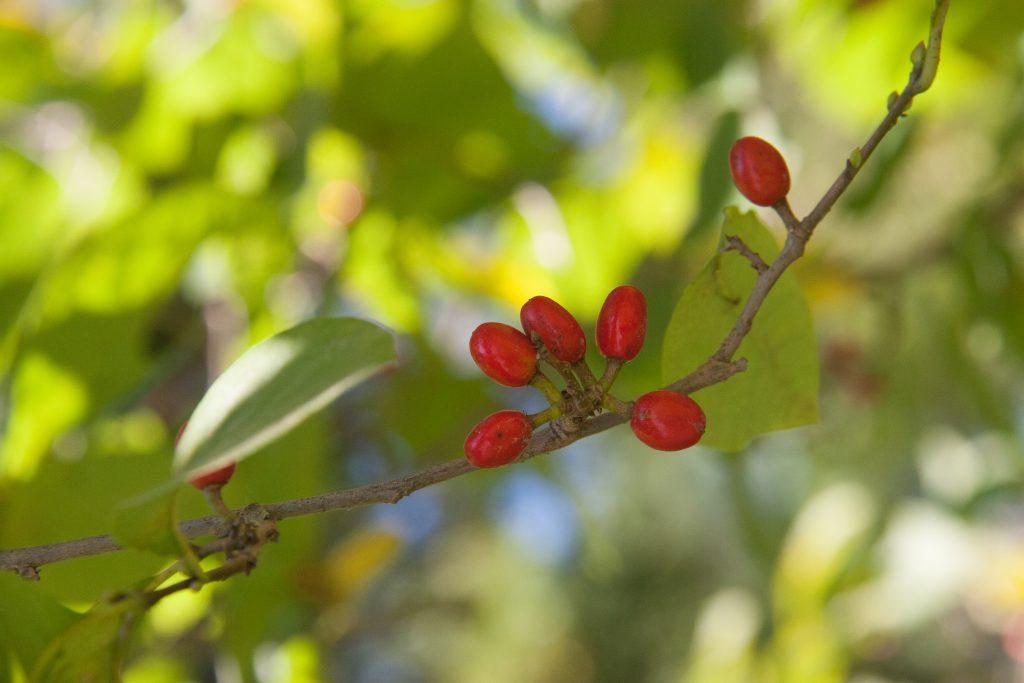 spicebush berries