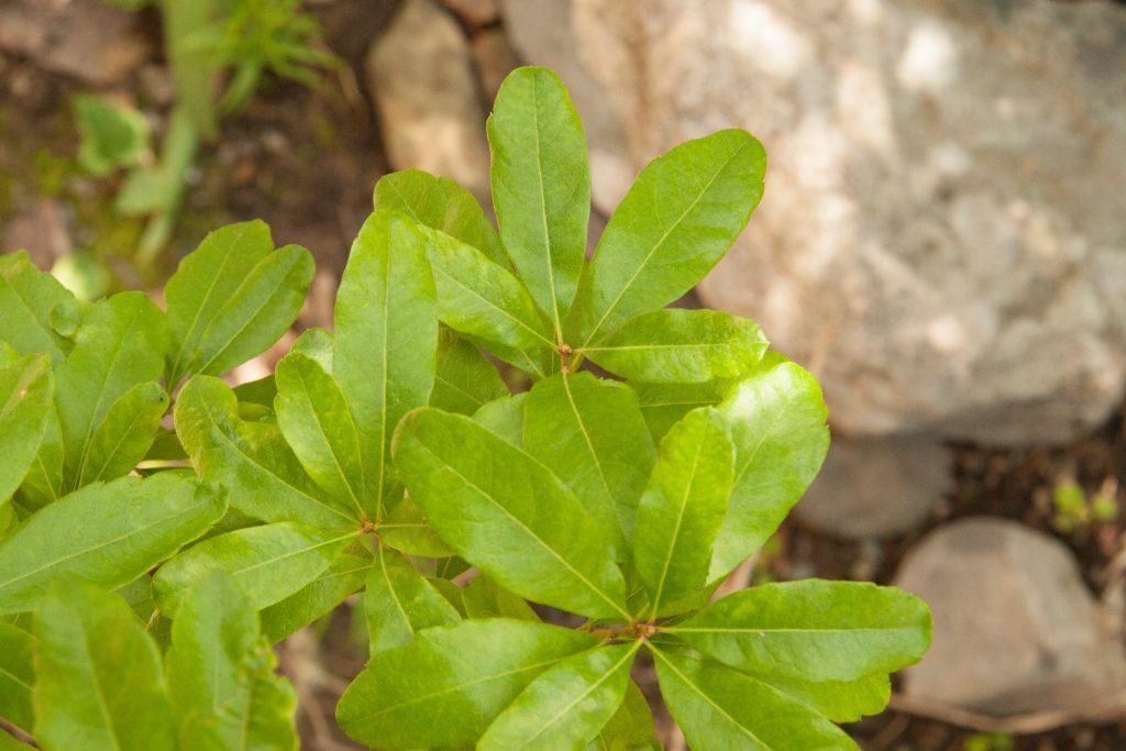 Pennsylvania bay leaf
