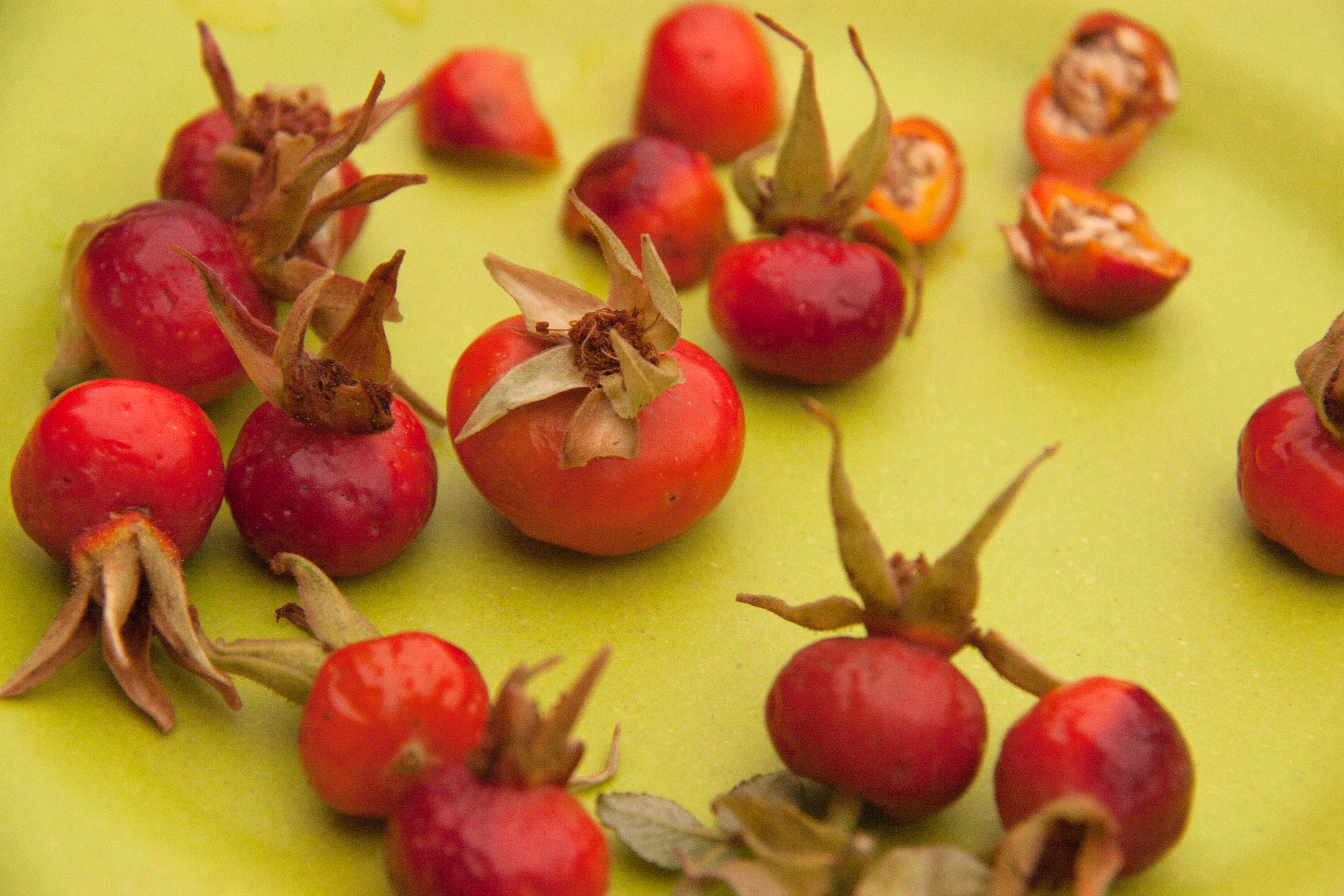 Rose Hips: When, How, and Why to Harvest
