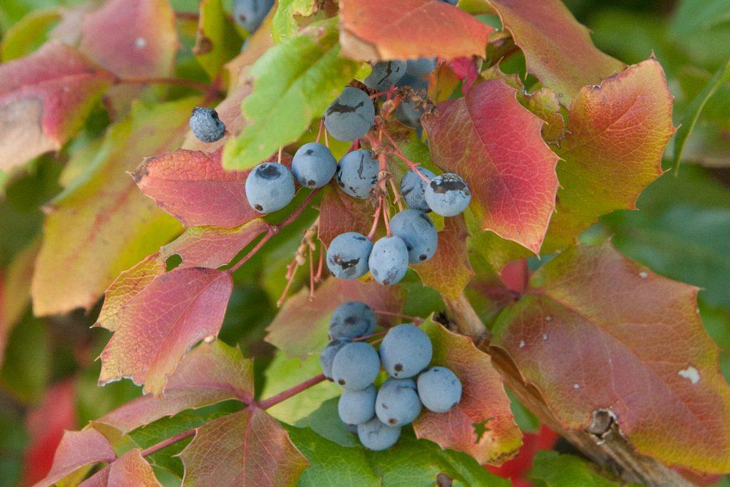 Oregon grape fruit