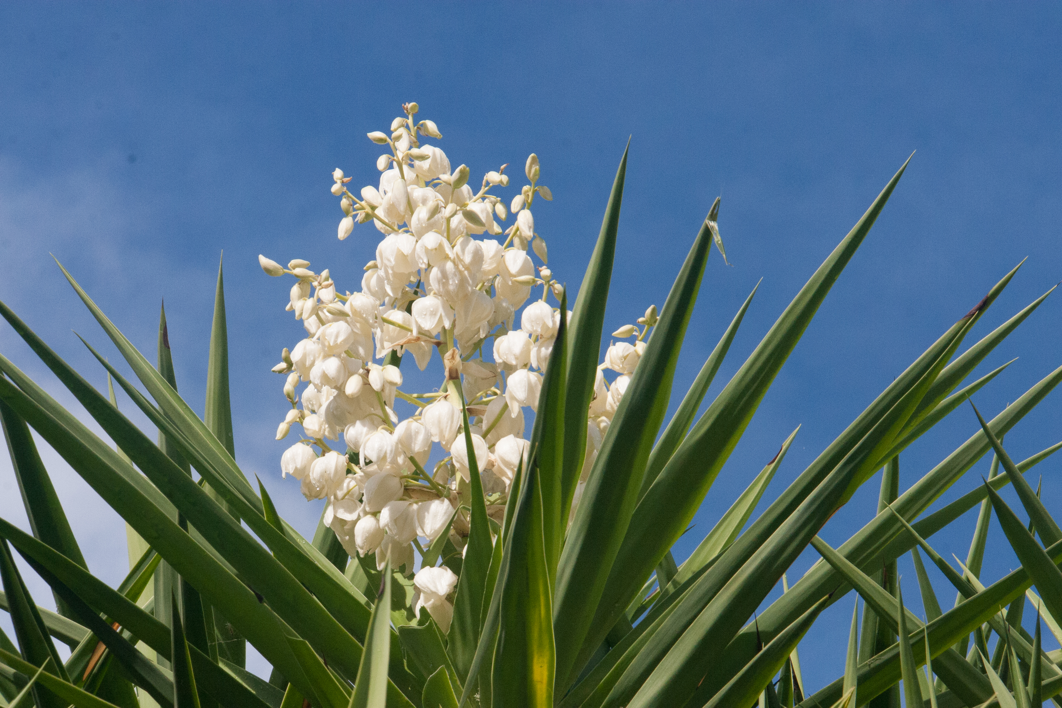 Yucca Blossoms: a Savory Edible Flower