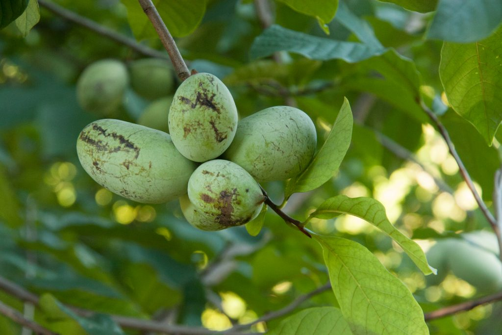 pawpaws on the tree
