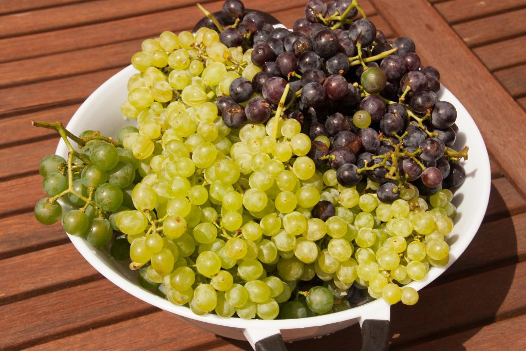 feral grapes