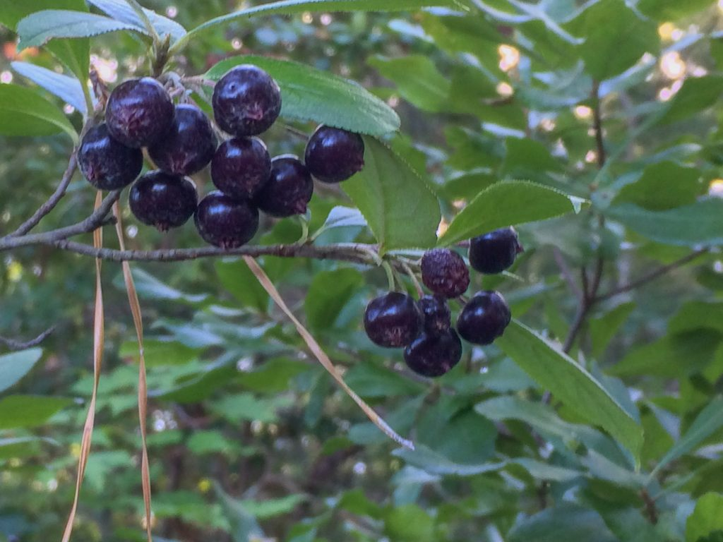 ripe fruit of A. melanocarpa