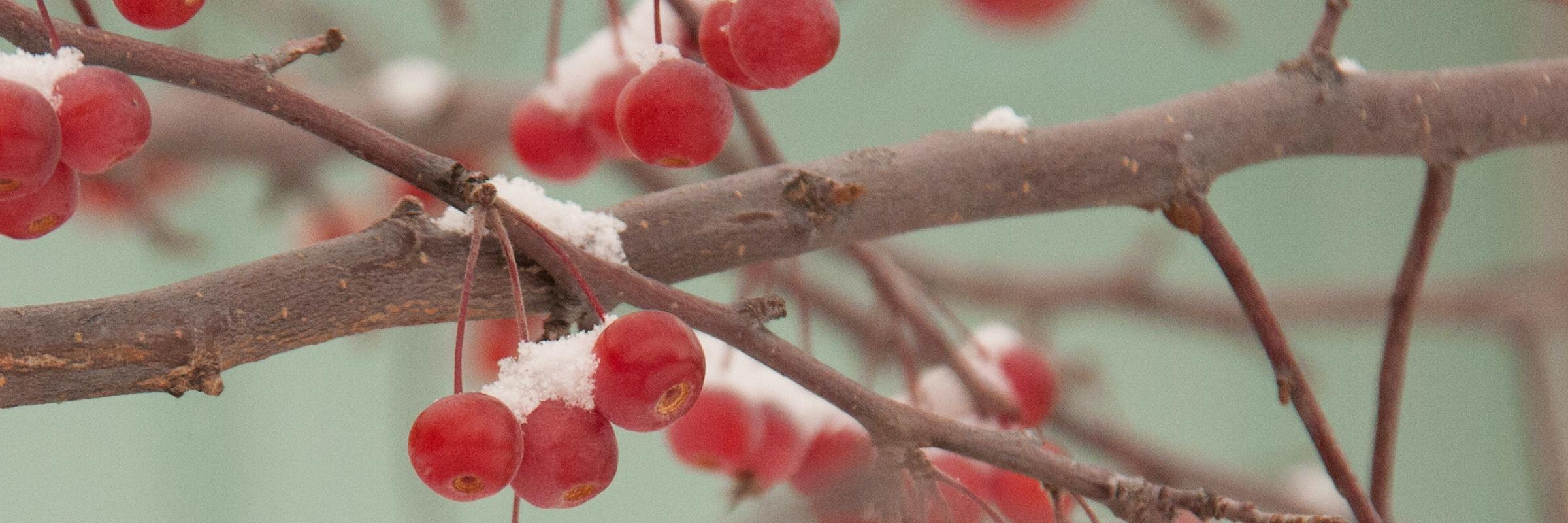 1-snowy crabapples
